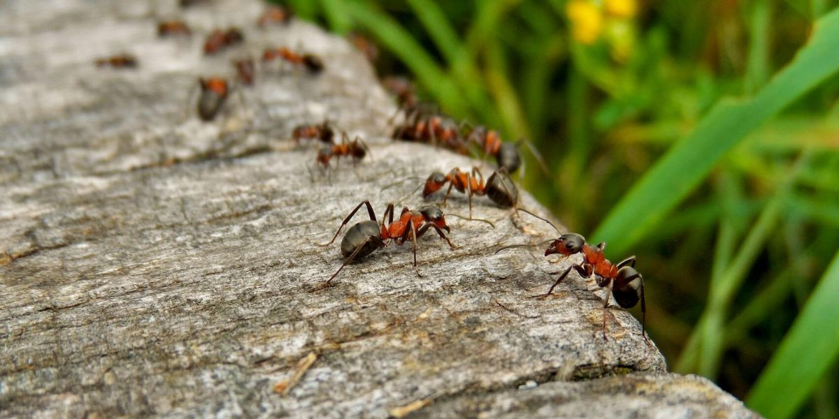 Tips for Ant Control In Your Home
